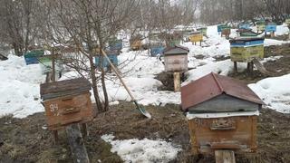 Вынесли пчелок на стационаре. 13 апреля 2021г. Алтайский край,Солонешенский район.