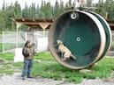 Alaskan Husky Exercise Wheel