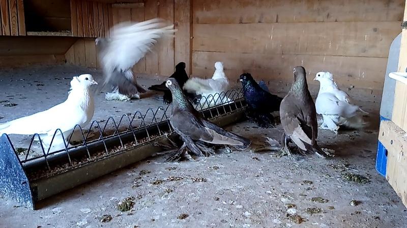 Армавирские короткоклювые голуби