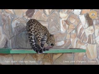 Леопарды. дети кушают пока мама релаксирует _ leopards. cubs eat while mom relax