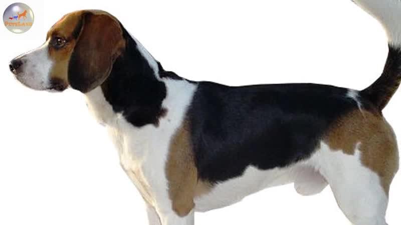 Бигль харрьер Beagle Harrier