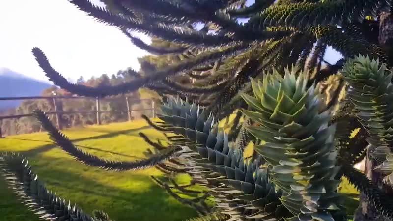 «Старый парк» в деталях араукария чилийская