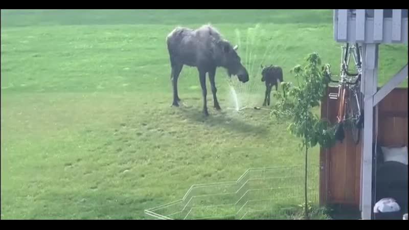 Baby moose running through a sprinkler