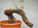 ✅ Bonsai: Advanced technique. Graft of vein alive performed on Olea europaea by Stefano Defraia