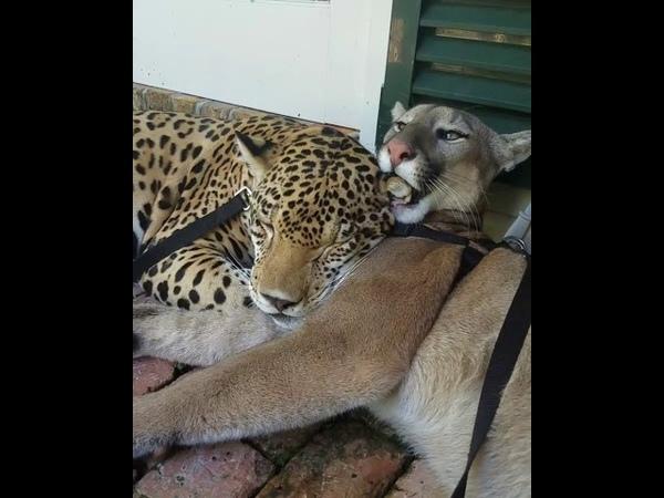 Meeka cougar and Mateo jaguar groom session