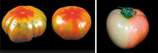 ПЯТНА НА ПЛОДАХ ТОМАТОВ Калий помидоры используют в небольшом количестве и особенно в период плодоношения растений. Роль калия важна и на первых этапах развития помидоров для формирования