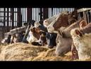 Диетическая медь для молочных коров: как правильно поддерживать уровень кормления / Dietary copper for dairy cows: how to get feeding levels right