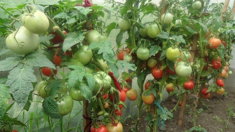посадка томатов в теплице видео