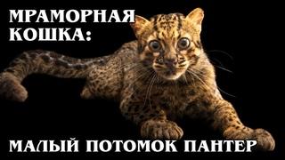 МРАМОРНАЯ КОШКА: Древняя родственница дымчатого леопарда | Интересные факты про кошек и животных