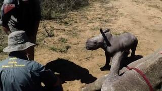 Маленький носорог-защитник