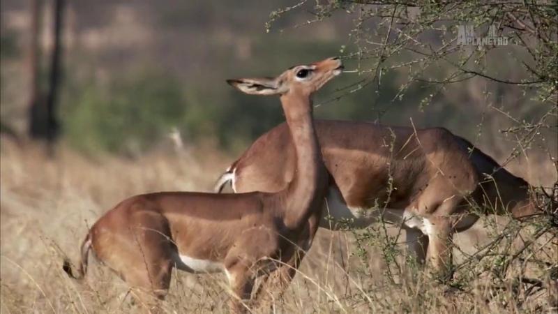 В дебрях Африки Озеро Туркана земля крокодилов Wildest Africa Док фильм Animal Planet HD
