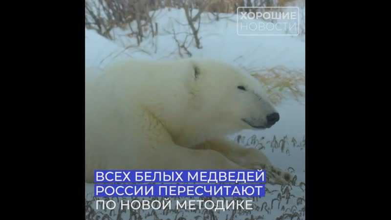 В российской Арктике впервые пересчитают всех белых медведей