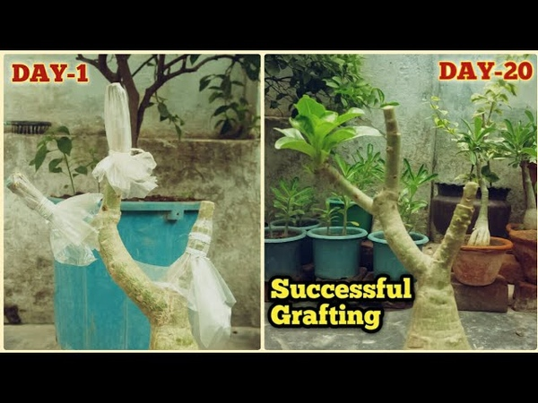 3 Colour Successful Grafting On One Plant    Adenium Flat(Tablet ) Grafting With Result