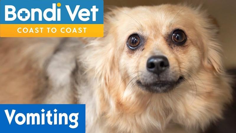 Собаку тошнит из-за того, что она ест всё подряд Dog Is Vomiting From Eating Everything | Bondi Vet