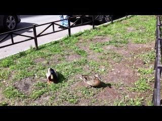 Дикие утки прилетели к нам во двор