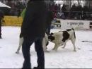 собачьи бои барон бульдозер
