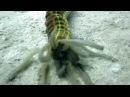 Гигантский морской огурец Godfreys
