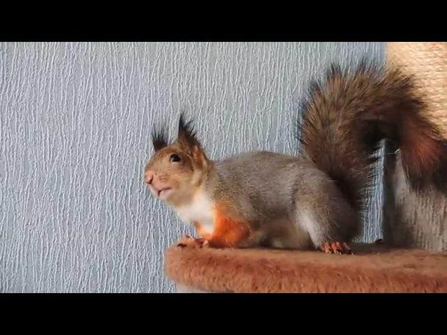 Белки Пуш и Ноби дразнят кошку. Squirrels Noble and Posh tease the cat