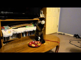 Cassie the Capuchin Monkey Eating Supper