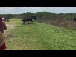 Wild horse attacks alligator