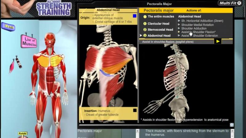 большая грудная Pectoralis Major Muscle Motion Anatomy Kinesiology