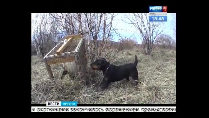 Контактная притравка охотничьих собак неоправданная жестокость или необходимая тренировка