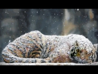 Sleeping tiger in the snow - GIF on Imgur