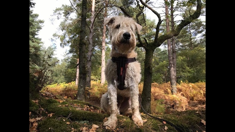 Dexy 7 Month Old Soft Coated Wheaten Terrier 2 Weeks Residential Dog Training