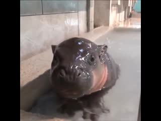 Just a baby Hippo.
