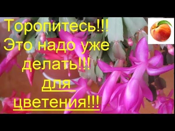 Срочно для пышного цветения декабриста Шлюмрергера Schlumbergera Rhipsalidopsis Рождественный кактус