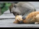 Binatang LUCU. Monyet Vs Kucing dan Monyet Jahil Lucu Banget