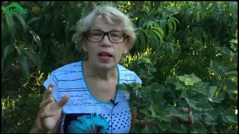 🌿 Галловая тля на смородине - опасный враг! - 7 дач