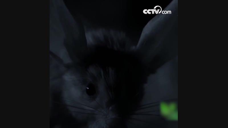 Длинноухий тушканчик - Тяжело заснуть с такими ушами