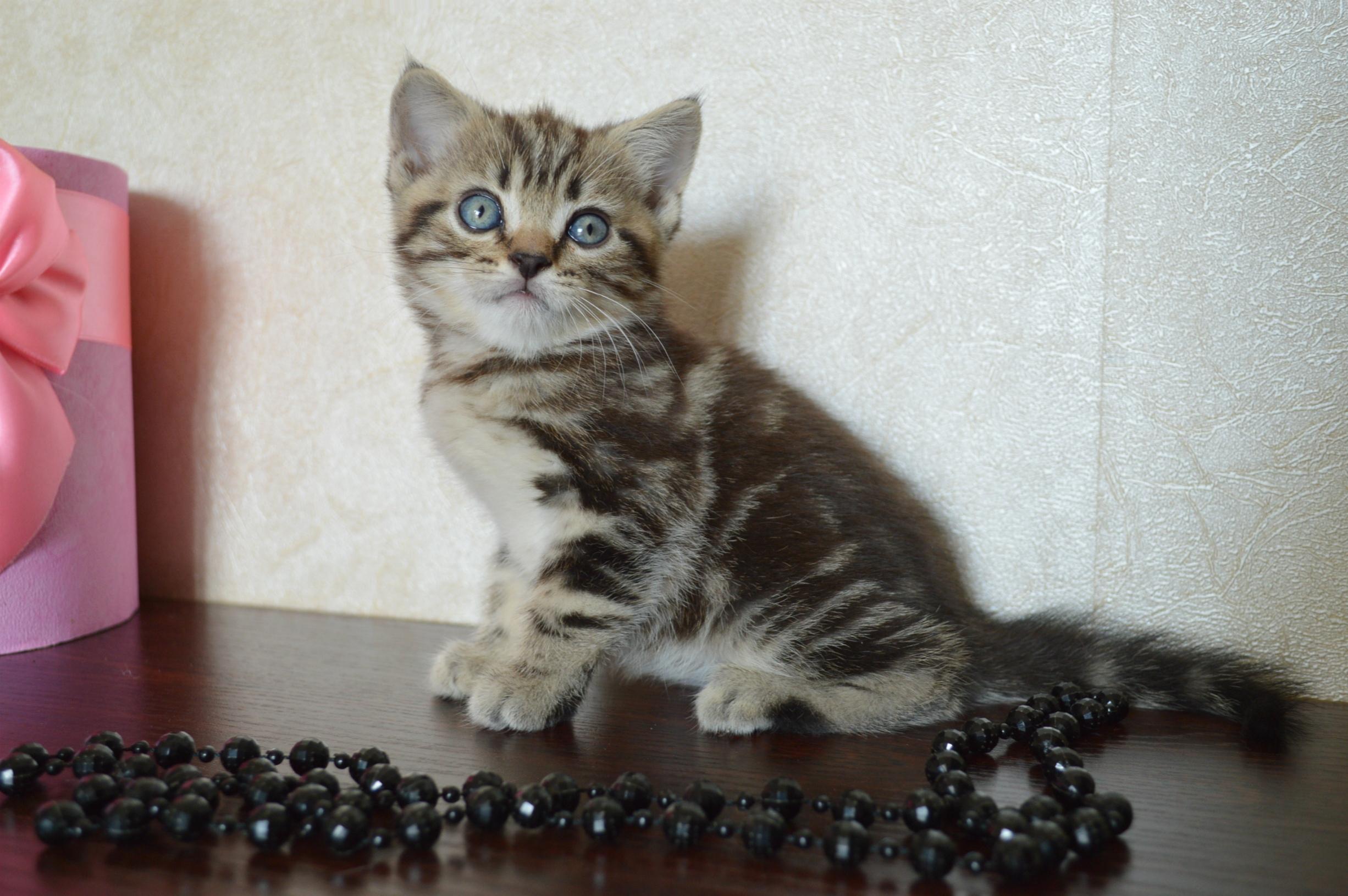 Шотландские вислоухие и прямоухие котята ❤