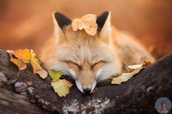 Осень лисье время.