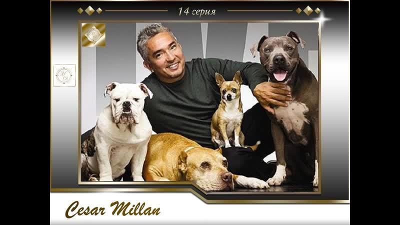 14 серия Сезар Миллан Переводчик с собачьего Goldy Pepsi