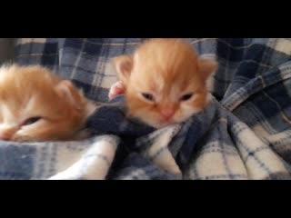 Шотландские котята. Возраст 2 недели.