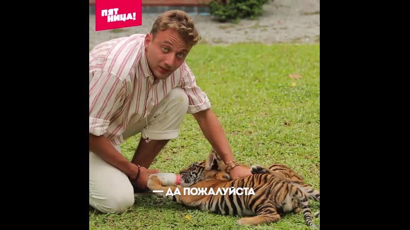 Антон Зайцев нянчится с тигрятами