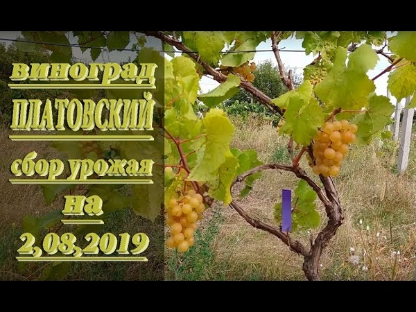СОРТ ВИНОГРАДА ПЛАТОВСКИЙ Срываем урожай 2 08 2019 года