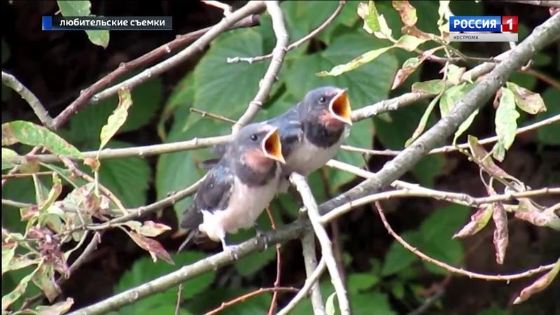 Ласточки кормят маленьких птенцов редкие кадры из посёлка Якшанга