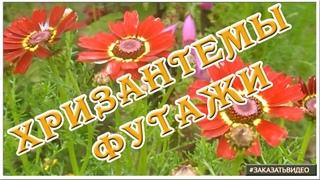 Натуральные цветочные видеофоны ✿✿✿ Футаж HD цветут хризантемы ✿✿✿