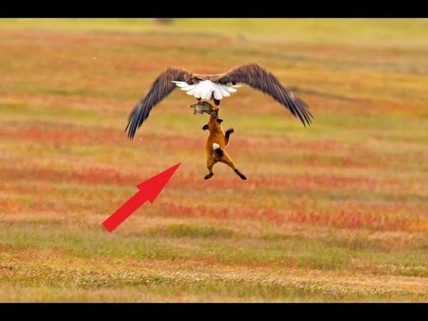 Орёл схватил лису и взлетел! Вот чем всё окончилось!