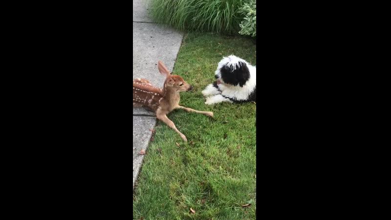 собакен поражен олененком в супер милом видео