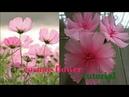 90 bunga kenikir dari stocking 🌸 nilon stocking cosmos flower 🌺 tutorial