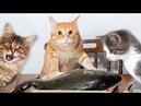 ТОП ПРИКОЛЫ ПРО КОТОВ ПРИКОЛЫ С КОТАМИ / смешные животные / лучшее про котов
