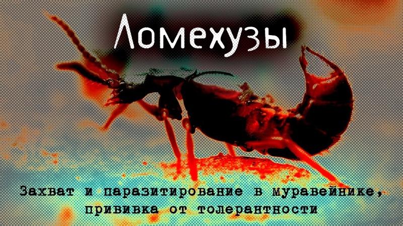 Ломехузы Захват и паразитирование в муравейнике прививка от толерантности