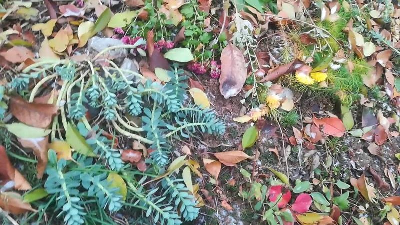 Растения которые не боятся мороза осоки морозник молочай сантолина шалфей колокольчики