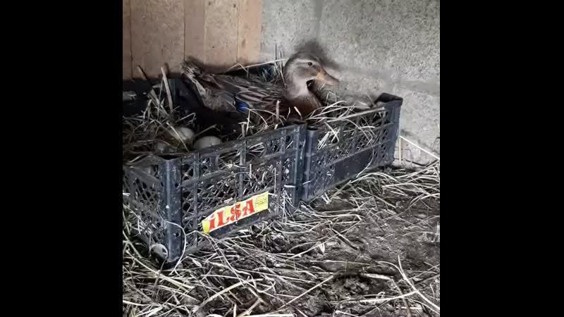 Мои подсадные утки уселись на гнезда