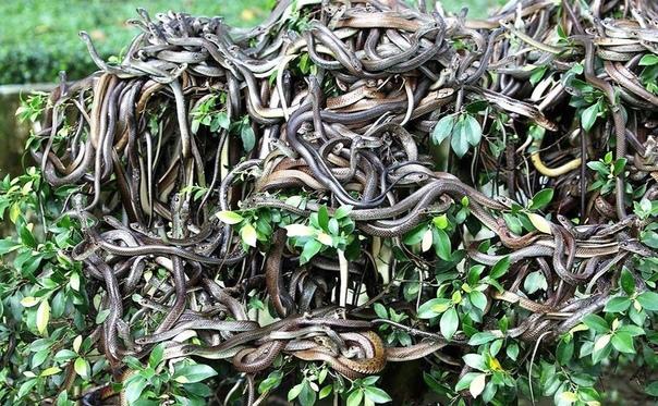 Бразильский остров ядовитых змей Кеймада-Гранди  место вашего кошмара