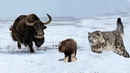 Amazing Mother Bison Save Her Baby From Snow Leopard Hunting || Power of Mother Animals